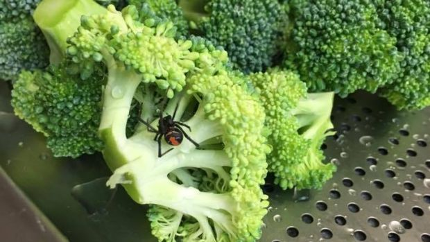 Several Woolworth's customers posted photos of spiders found in broccoli purchased at an Australian location, prompting the supermarket to withdraw the batch of broccoli from three suppliers in the area.