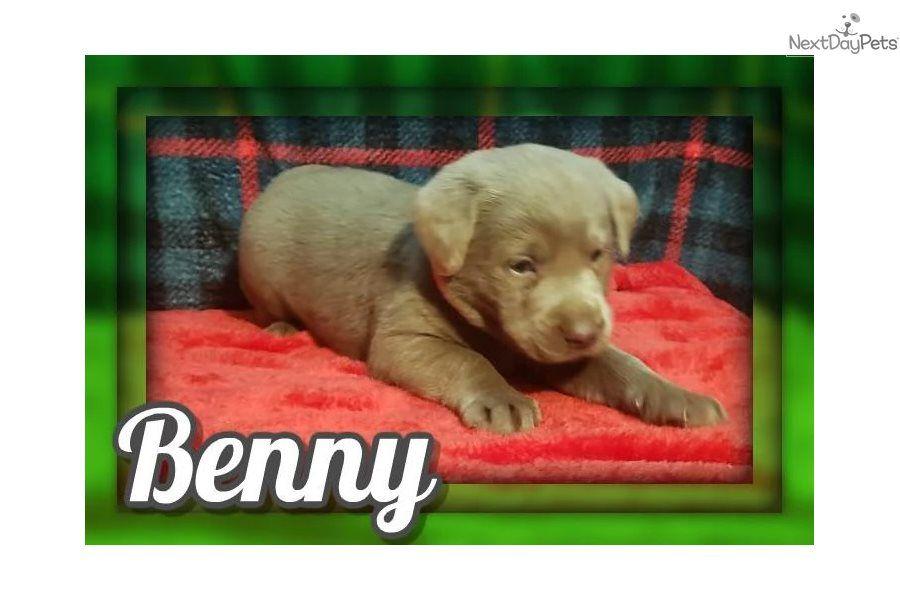 Labrador Retriever Puppy For Sale Near Akron Canton Ohio 2d24b666 A8a1 In 2020 Labrador Retriever Labrador Retriever Puppies Silver Lab Puppies