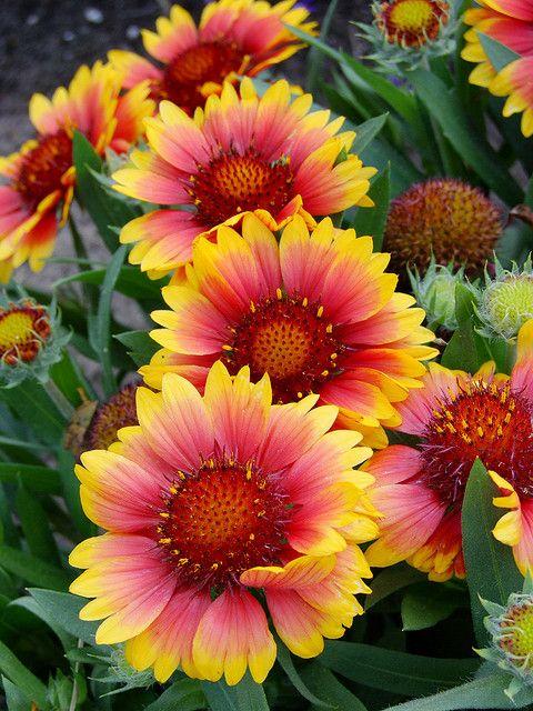 Elles Sont Si Belles Ces Fleures Je Les Veux Chez Moi Dans Mon Salon Il Faut Trouver Une Bonne Fleuriste Aussi Http Fleurs Planter Des Fleurs Arbuste