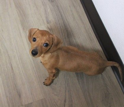 Dachshund Puppy For Sale In Murrieta Ca Adn 32846 On Puppyfinder