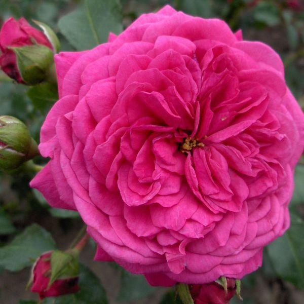 klimroos 'Laguna' – Kordes (2004) – ADR 2007. Gevulde, regenbestendige dieproze bloemen (8-10cm) in kleine trossen van 6 à 8. Sterke fruitige en kruidige geur. Doornige, bossige struik. Zeer gezond. 250cm x 100cm.
