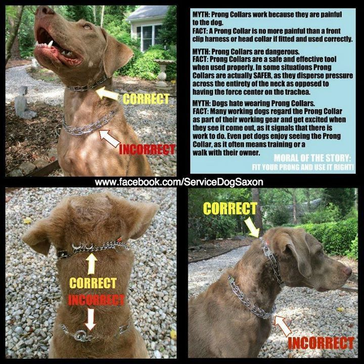 Correct Way To Wear A Prong Collar Dog Training Dog Training Collar Service Dog Training