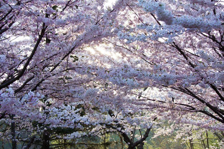 Best Time To See Cherry Blossom In Toronto 2021 When To See Rove Me Japanese Cherry Tree Cherry Blossom Japanese Cherry