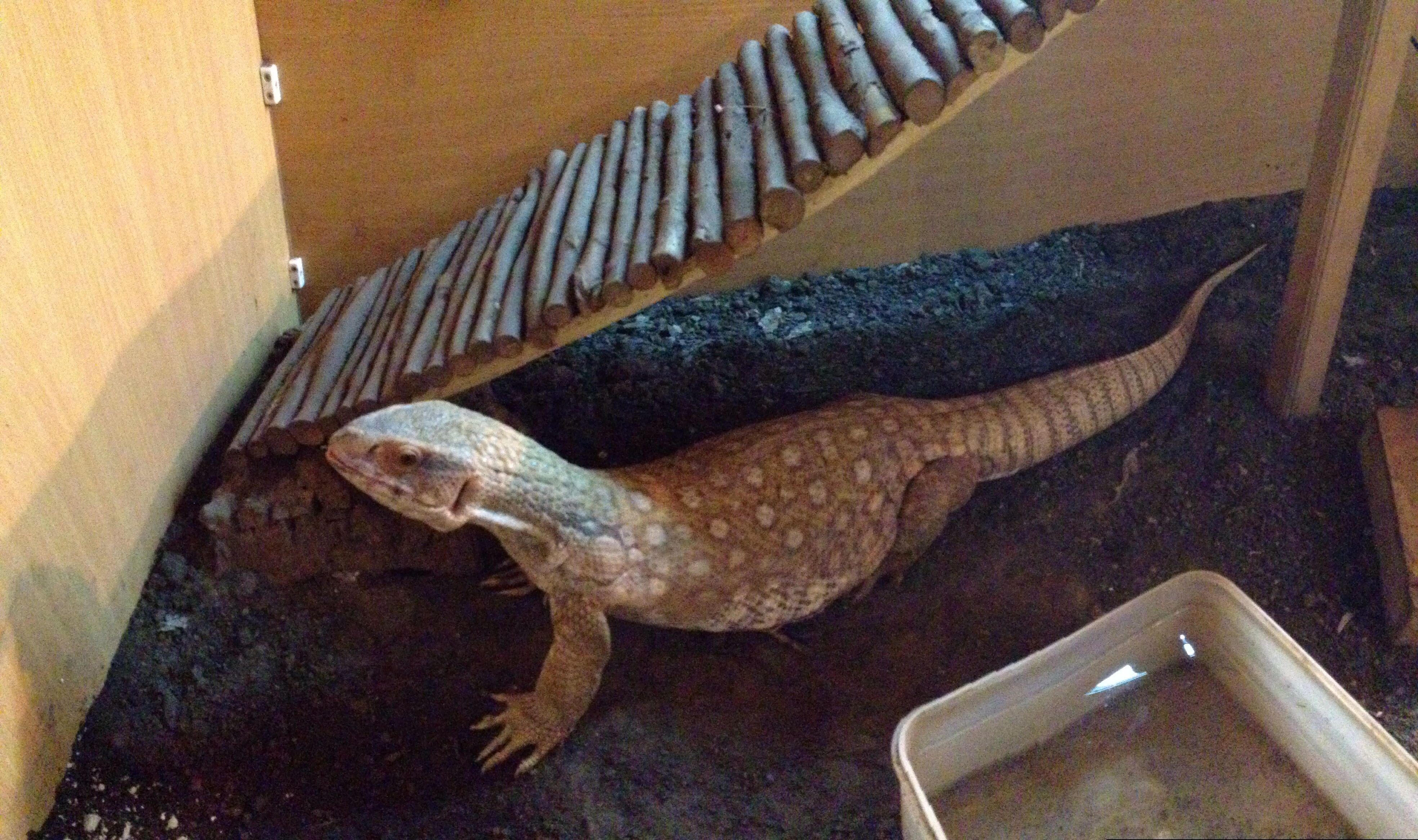Pin by Brooke Johnson on Reptiles Monitor lizard, Lizard