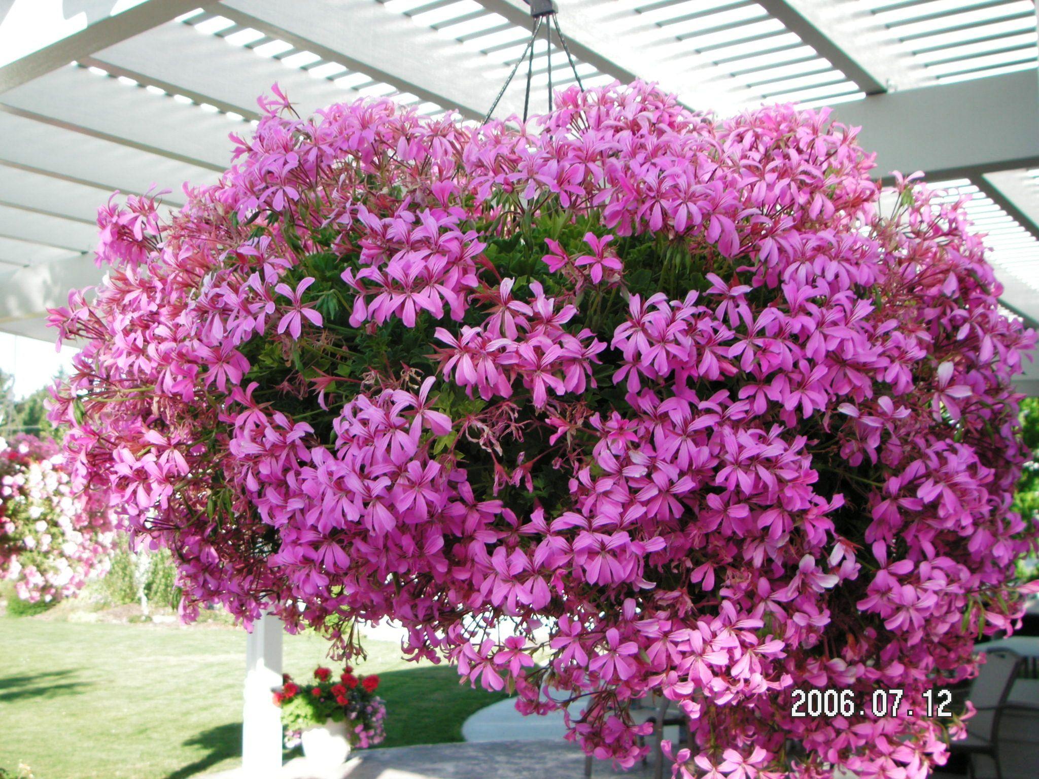 Flower Varieties For Hanging Baskets : Geranium varieties short history of the