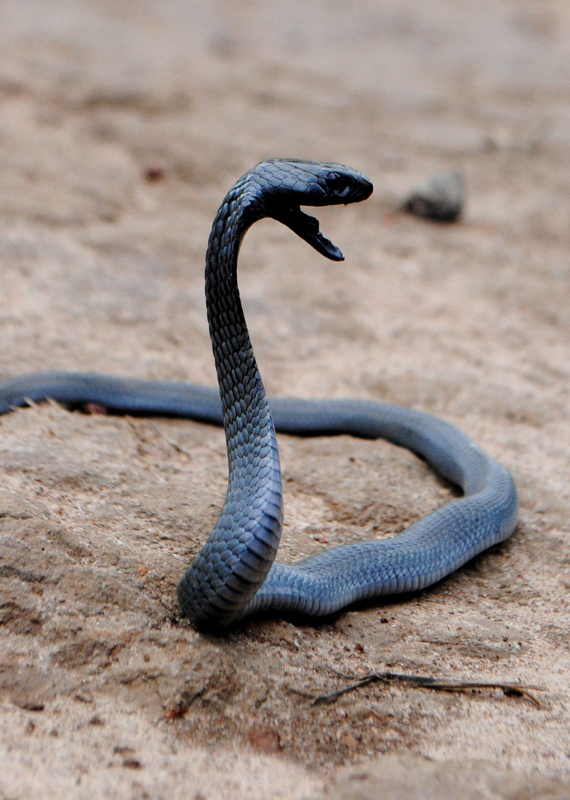 Black Necked Spitting Cobra (Naja nigricollis)