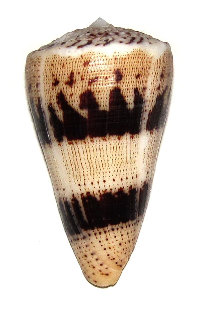 CONUS AUGUR CONIDAE Specimen Sea Shell Picture (TS111172-MOZAMBIQUE - NACALA BAY)