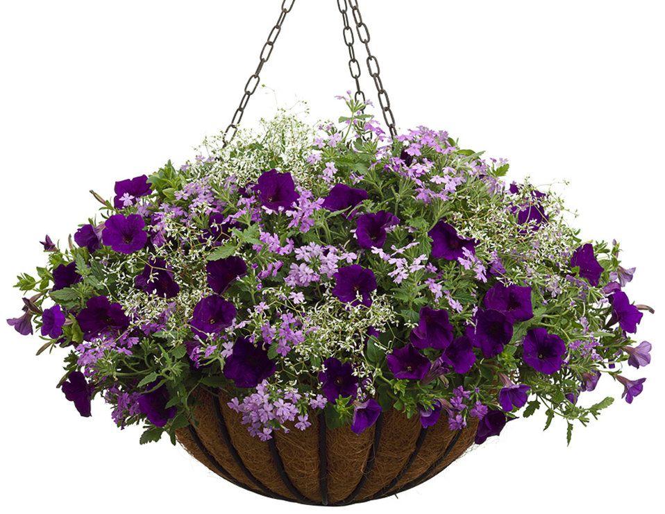 Flowers For Baskets For Hanging : Royal velvet petunia hybrid diamond frost euphorbia
