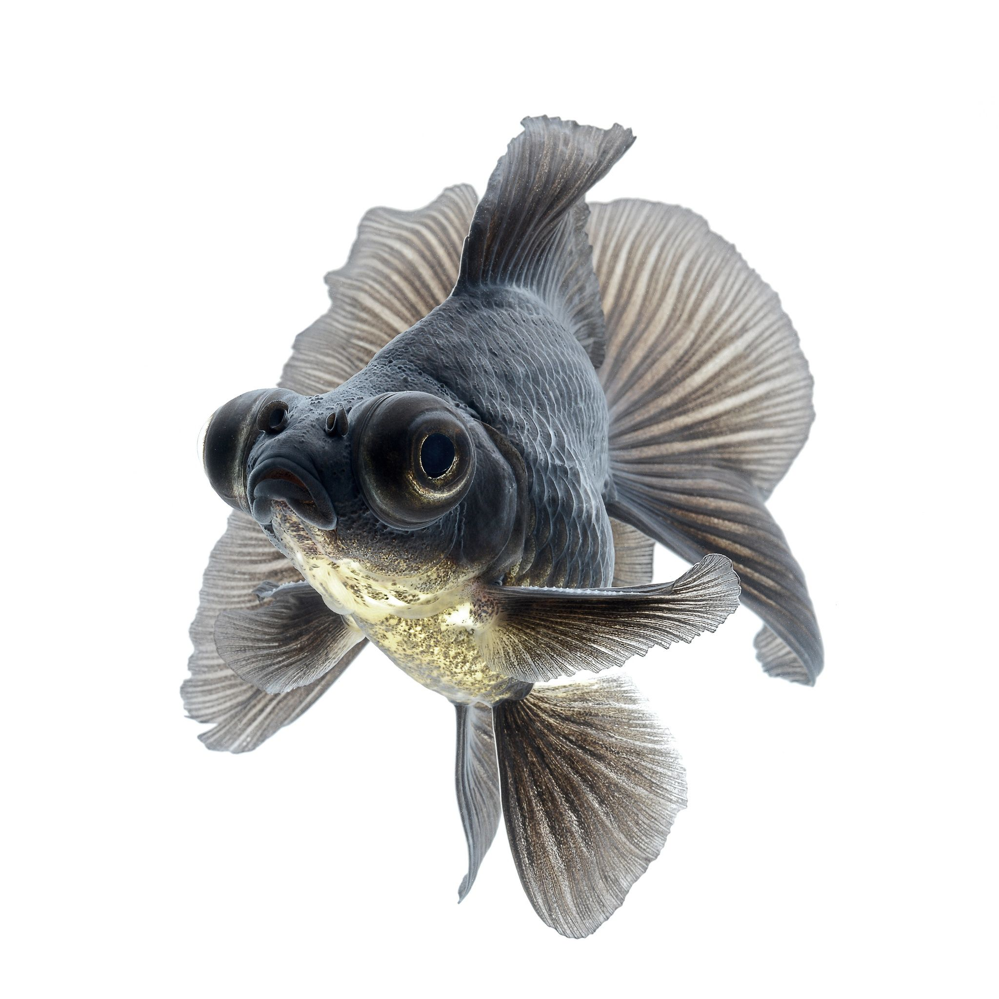 Pin On Gold Fish