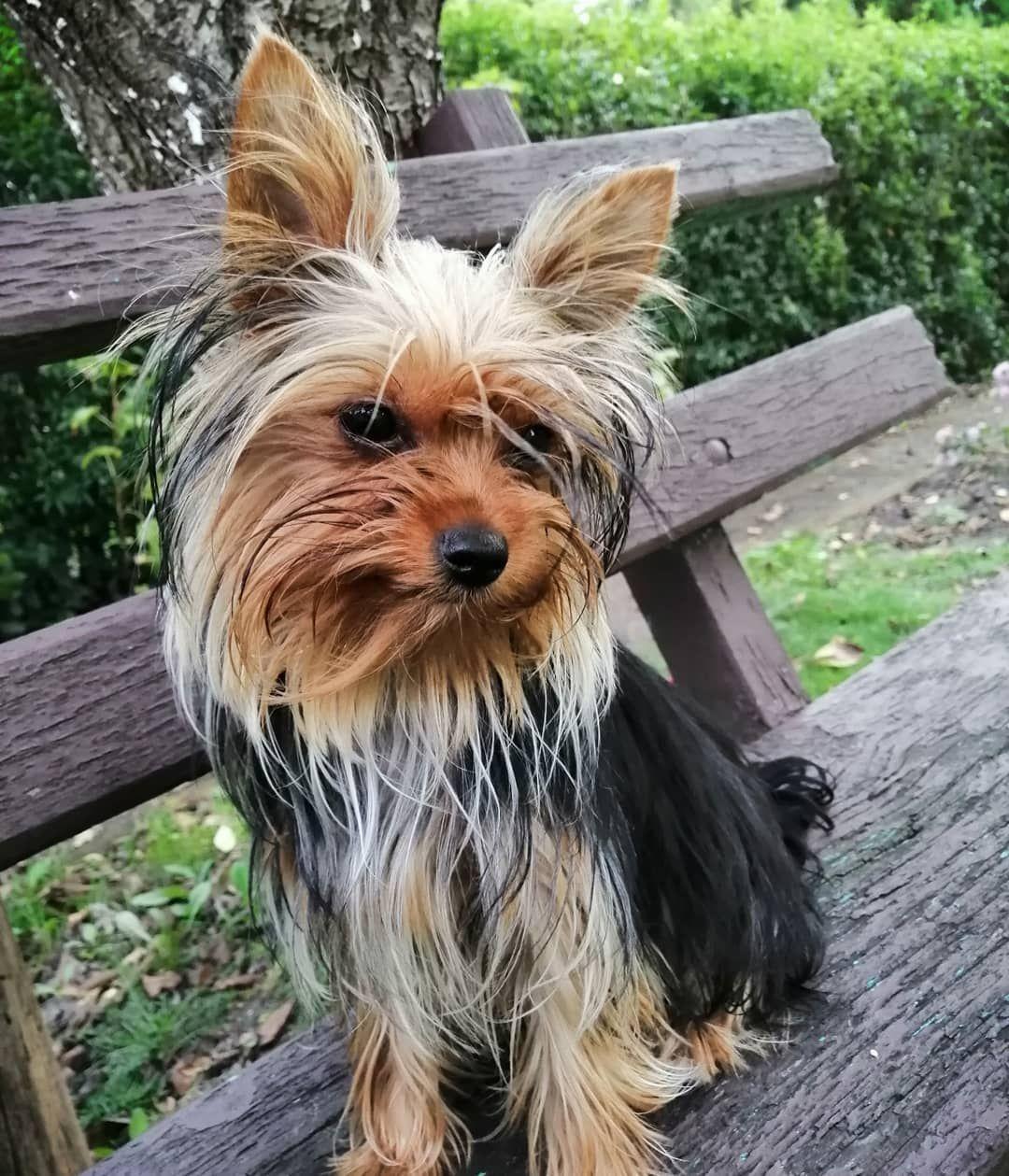 Pin By Doglifeworld Dog Breeds Do On Dog Breeds Yorkshire