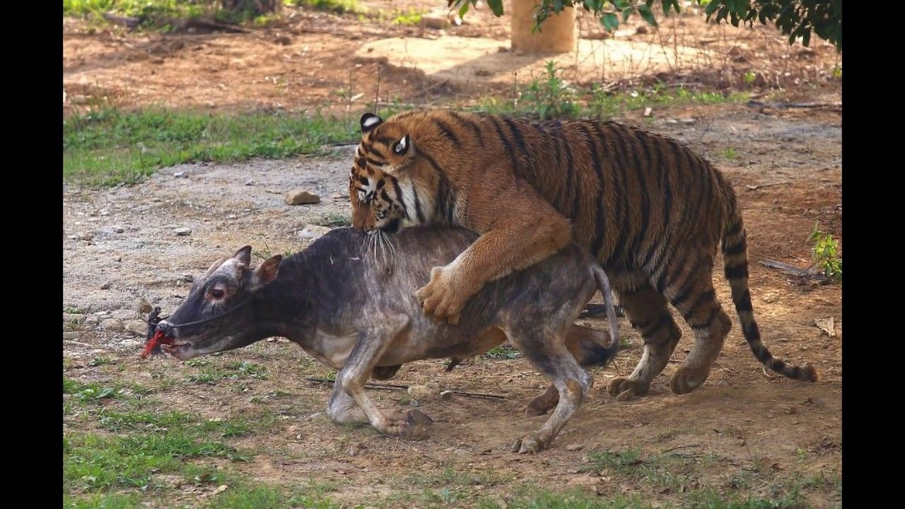 Sundarban Tigers with Human lifestyle in India. Power