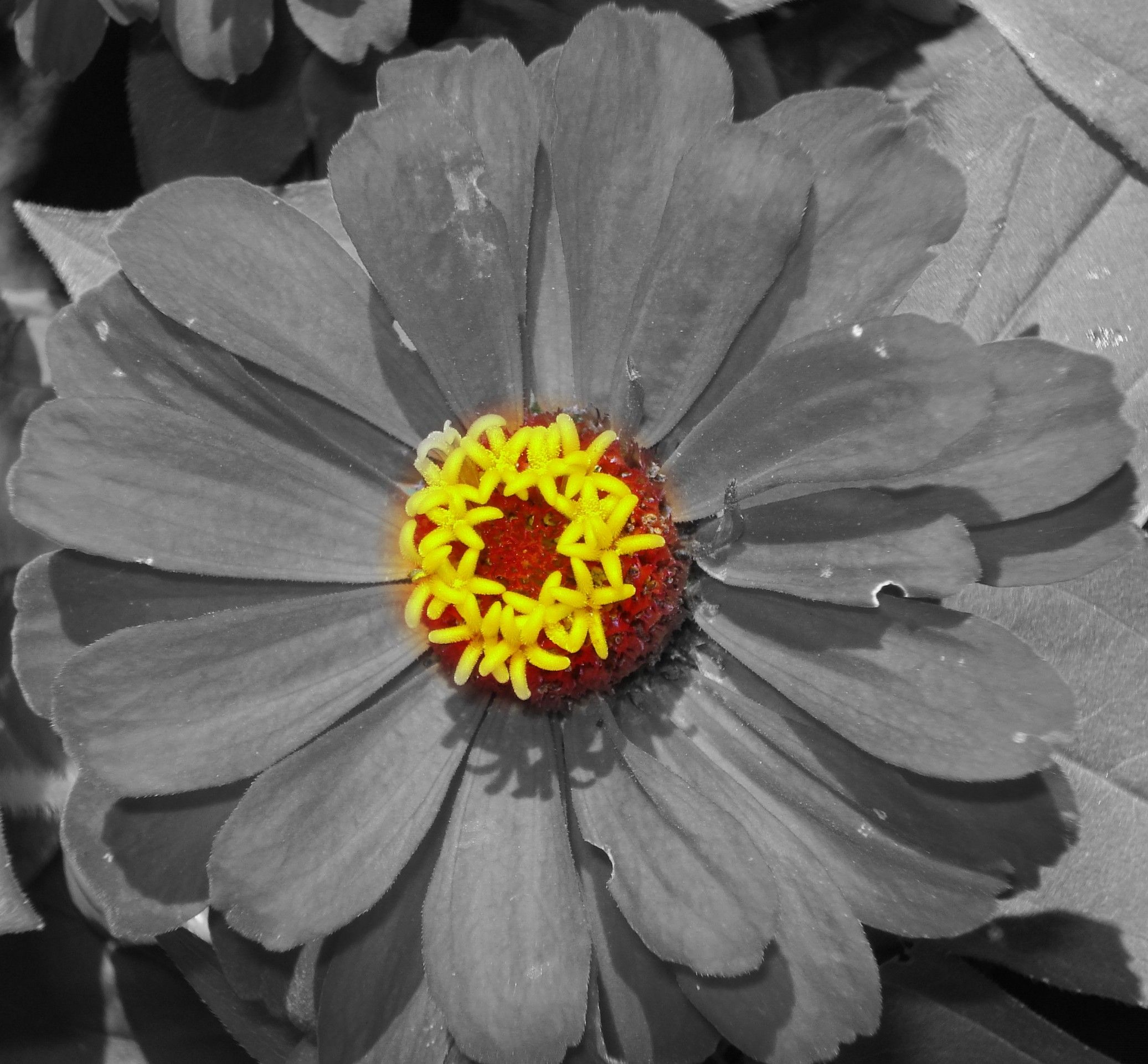 Black And White Flower With Color Center 2 Photo Fun Pinterest