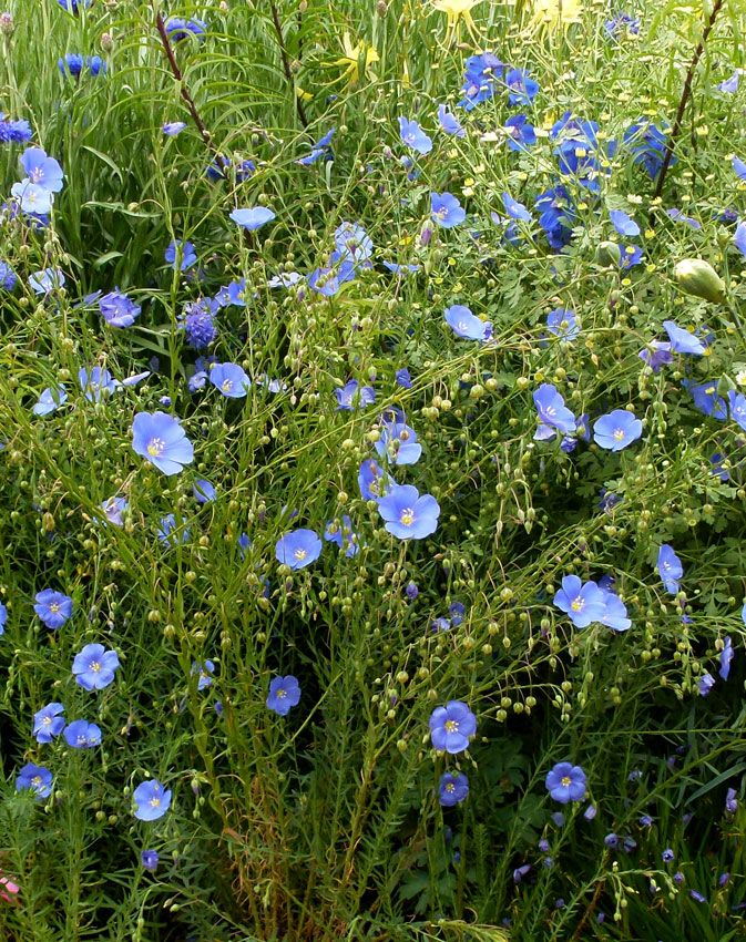 Blue Flax Is Another Central Oregon Native That Is So Delicate Looking And Beautiful It Is A Natural Meadow Plant And Plants California Plants Native Plants