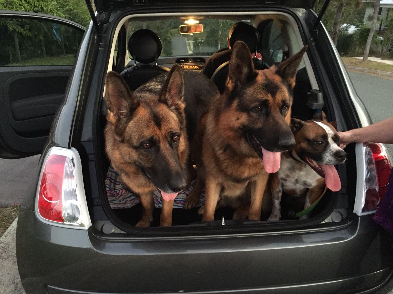 Gsds Friend Snug Fit In A Fiat German Shepherd Dogs German