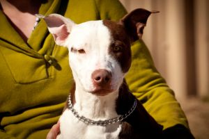 Adopt Rex On Pet Clinic Dog Adoption Pitbull Rescue