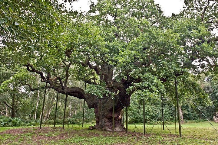 """""""The Major Oak"""". This English Oak tree is over 1,000 years old and is a popular site for couples to take their wedding vows.  (photo taken by Rick Hearne - Hearne Hardwoods Inc.)"""