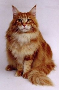 Beautiful Orange Maine Coon