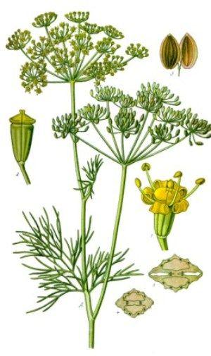 Ботаническая иллюстрация укропа душистого (Anethum graveolens)