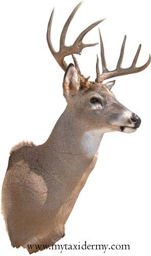 White-tailed deer full shoulder mount. Full upright position on a wall bracket.