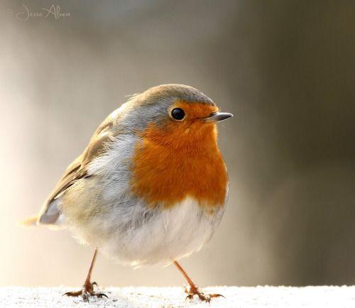 birdsonly  rotkehlchen vogel malvorlagen blaumeise