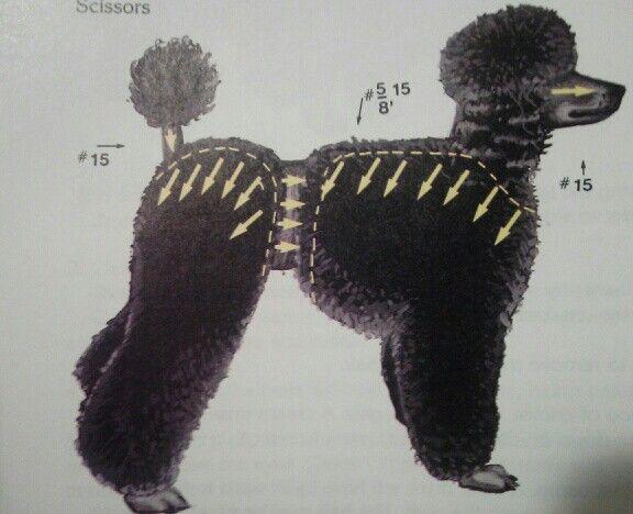 Poodle, grooming lines