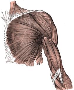 Brazo Wikipedia La Enciclopedia Libre Anatomia Corporal Arte De Anatomia Humana Arte De Anatomia
