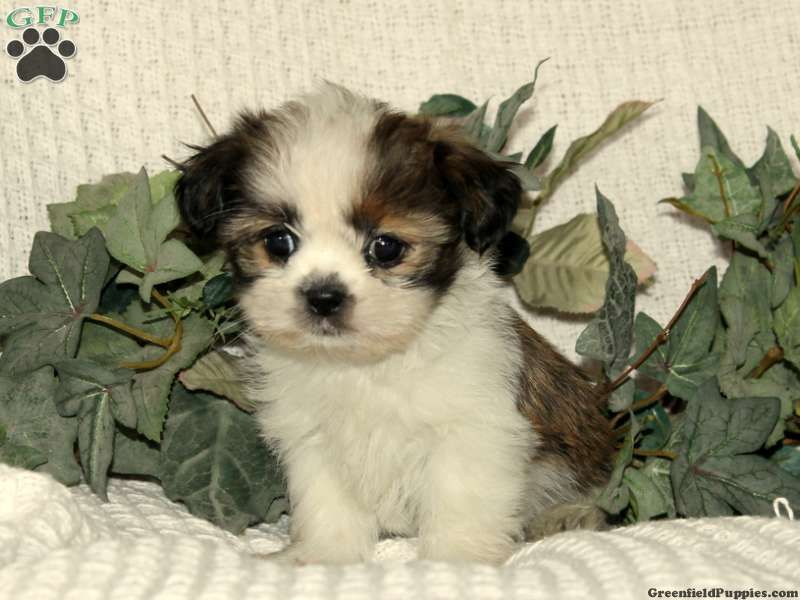 Pansy Shih Tzu Puppy For Sale From Manheim Pa Cute Animals