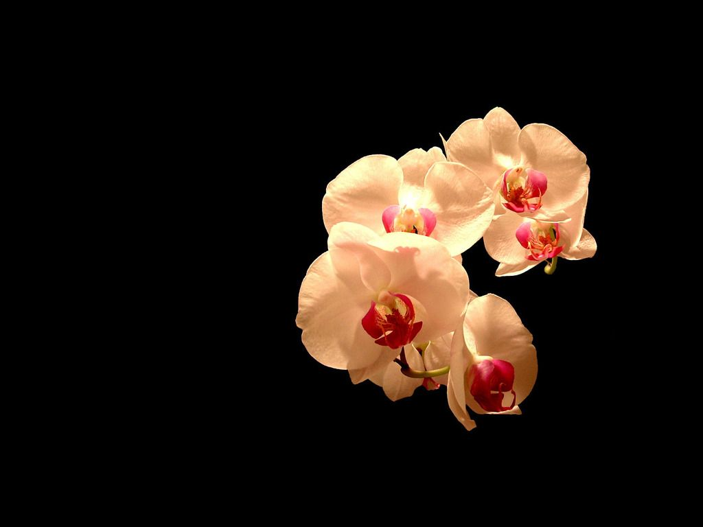 White Orchids Orchid Wallpaper Orchids Blue Flower Wallpaper