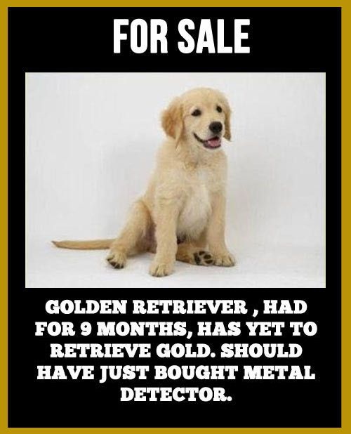 For Sale Golden Retriever Had For 9 Months Has Yet To Retrieve