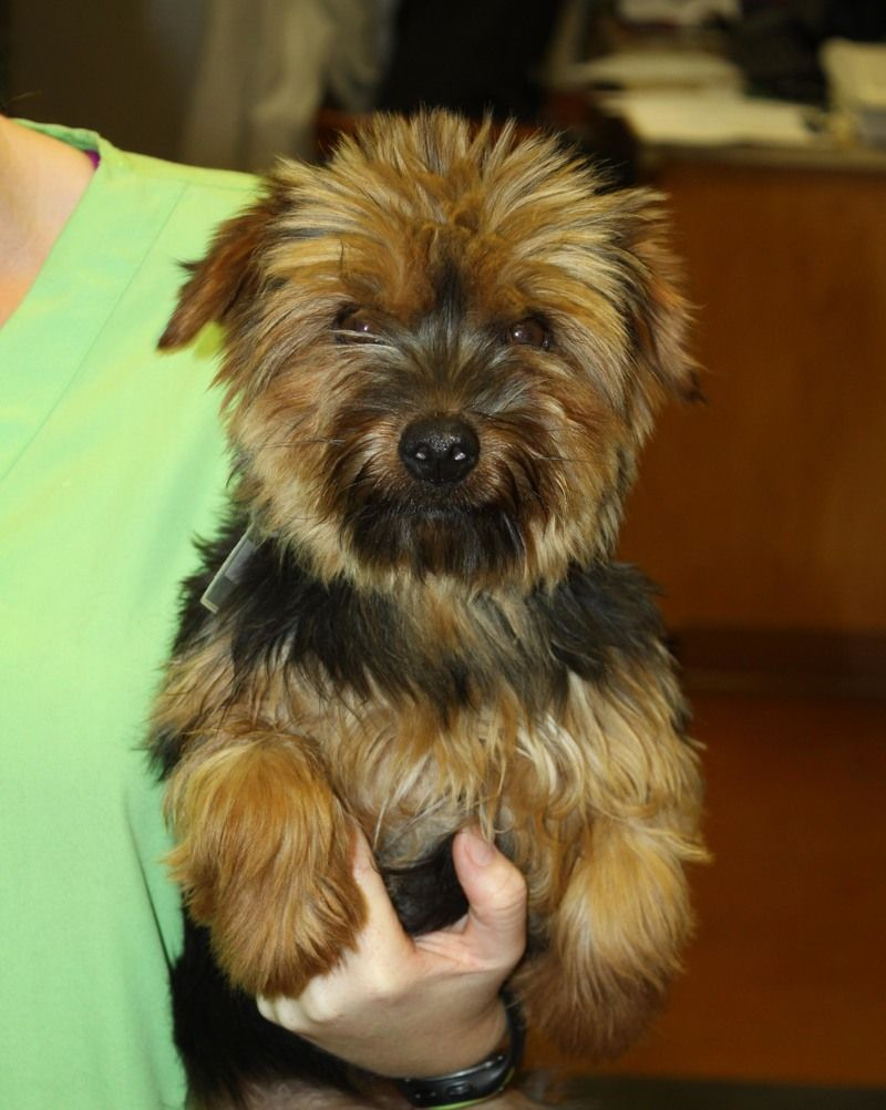 Adopt Pearce On Yorkie Yorkshire Terrier Dogs