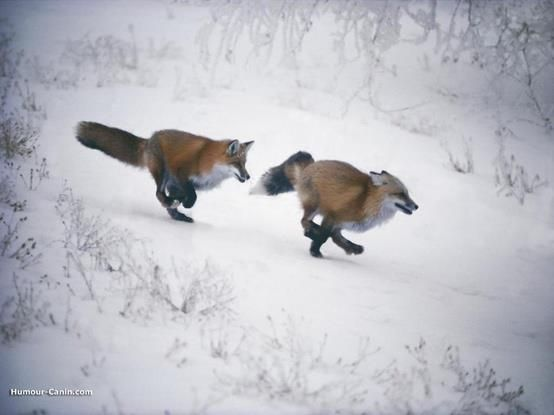 Chasing foxes