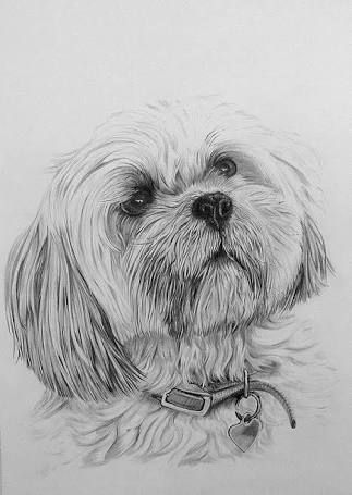 Lhasa Apso Drawing Google Search Animal Drawings Dog Pencil
