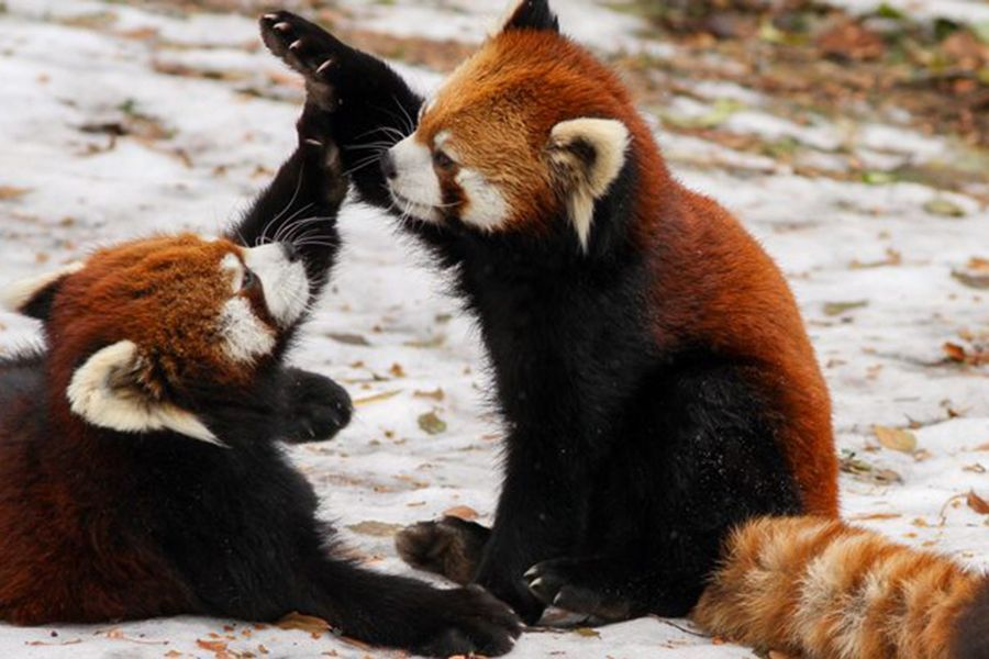 The Red Panda Ailurus Fulgens Is A Mammal Native To The Eastern Himalayas And Southwestern China Tiere