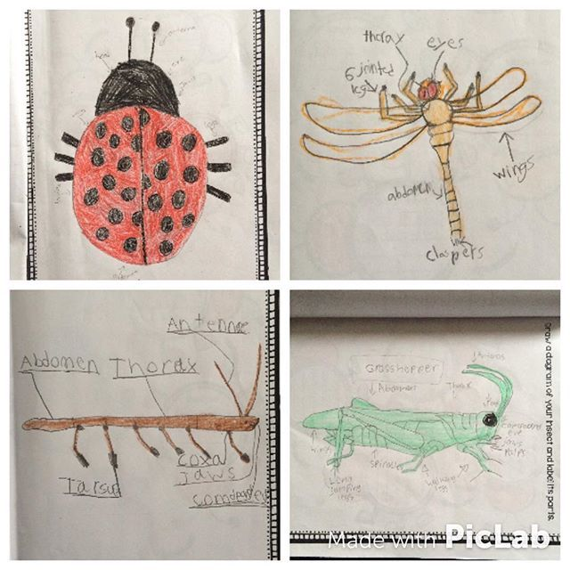 Integrating text features and writing while completing an insect study!  Kids always amaze me! #iteachtoo #iteach2nd #teachertwopointo #teachersfollowteachers #igteachersrock #teachersofig #teacherspayteachers #newteacher #firstyearteacher #insects #bugs