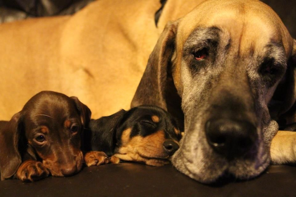 My Two Dachshund Puppies Cuddled Up With My Great Dane How Cute