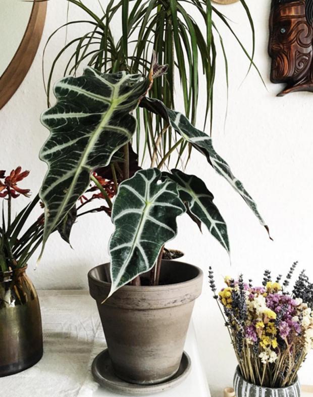 Plant O Pedia Alocasia Ica