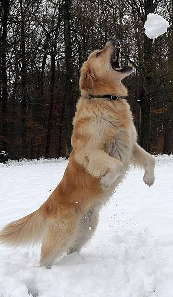 Dog Niko Catches A Snowball That His Owner Threw To Him In The