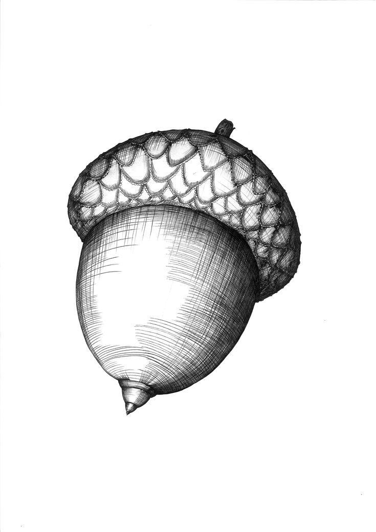 Acorn Nut. Ballpoint pen drawing by Elena Timtschenko. A3