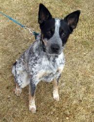 Adopt Belle On Animal Antics Australian Cattle Dog Dogs