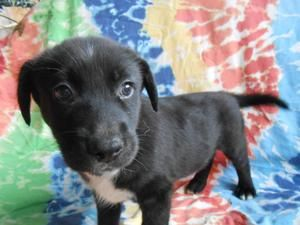 Adopt India on Australian cattle dog, Beagle mix, Dogs