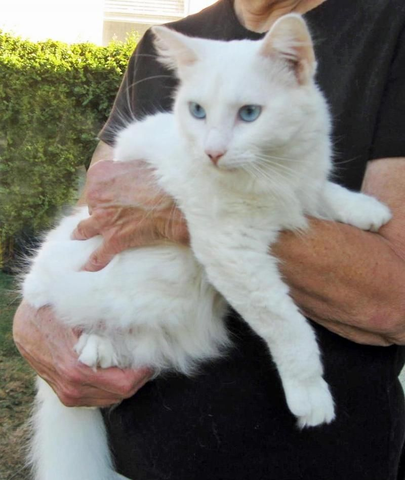 Adopt Hank On Beautiful Blue Eyes Cats White Cat