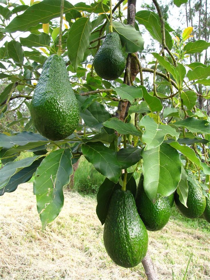 avacado fruits in  lahore  sargodha and  islamabad good news for  pakistanis in 2019