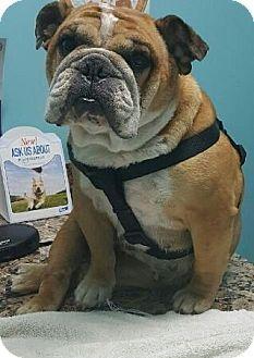 Fort Pierce Fl English Bulldog Meet Harley A Dog For Adoption