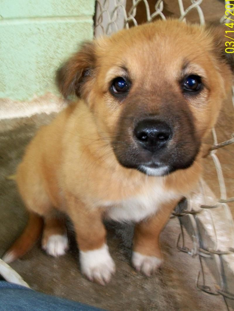 Name Nelliage 8 Weeks Oldbreed Labrador Retriever Shepherd Mixspecial Qualities Nelli Is A Super Cute Little Lab Shepherd Mix Puppy She Is Tan With White Mark