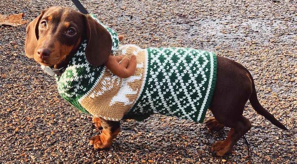 12 Photos Of Dachshunds In Christmas Jumpers From The Hyde Park