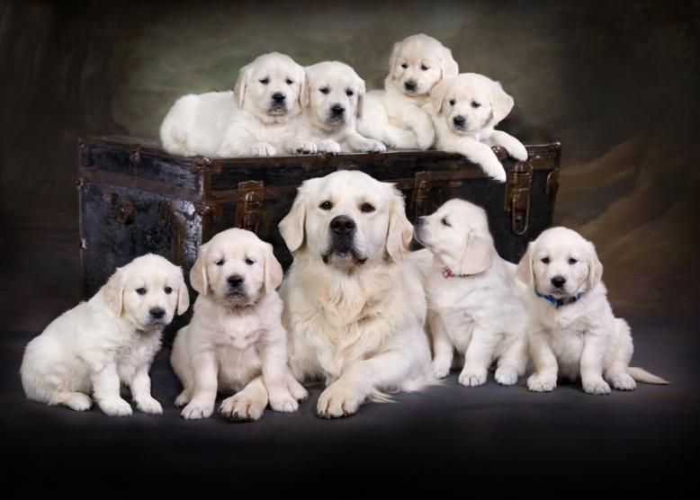 English Cream English Golden Retriever Puppies Carson City