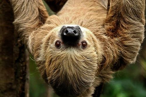 sloth big time sleeper Cute baby sloths, Cute sloth