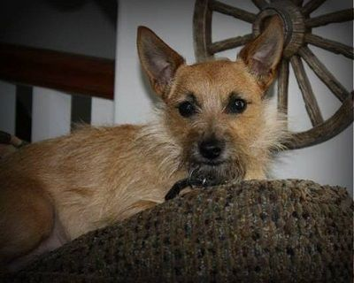 Toxirn Cairn Terrier Chihuahua Mix Info Puppies Pictures