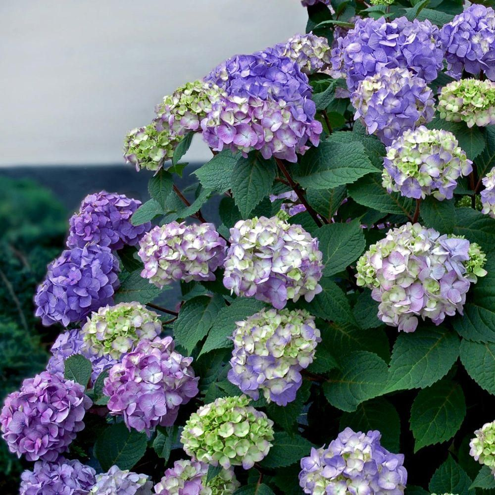 Endless Summer 3 Gal Bloomstruck Hydrangea Macrophylla Live Deciduous Shrub Pink Or Blue Or Purple Blooms 2635b3 The Home Depot Bloomstruck Hydrangea Endless Summer Hydrangea Hydrangea Not Blooming