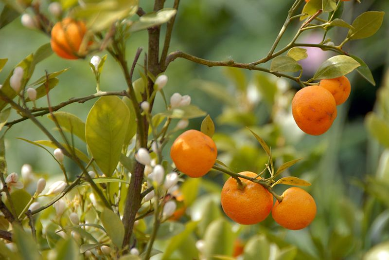 10 Citrus Trees That You Can Grow Indoors Your Winter 640 x 480
